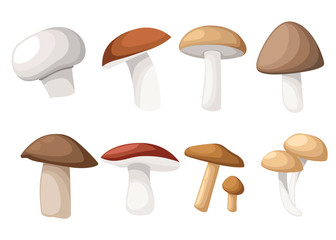 Mushroom vector illustration of various fungi boletus hampignon Leccinum Chanterelle Oyster.