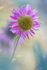 Delicate aster flower on a beautiful background. Space for text.