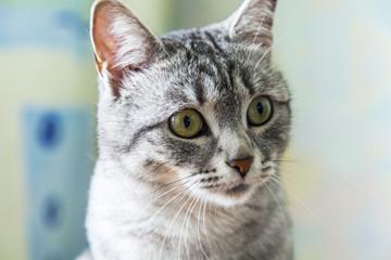 The beautiful gray cat looks around