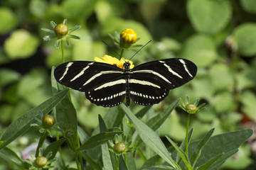 Butterfly 2017-41 / Zebra striped long-wing on flowers