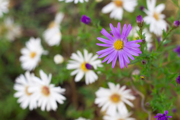 Floral background of white and purple chamomile flowers