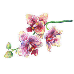 The branch of blossoming tropical pink flowers orchids, close-up ( Phalaenopsis, orchis). Hand drawn watercolor painting illustration on white background.