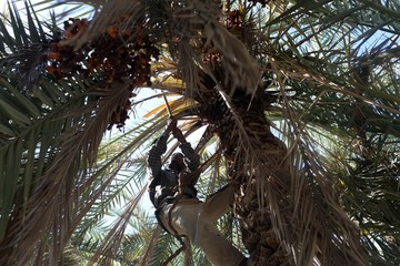 A worker collects dates from a palm tree at a farm in Siwa