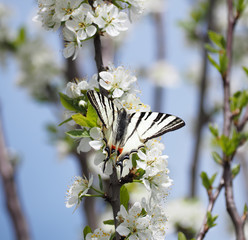 Butterfly papolio machaon at the flower blossom at blue sky background