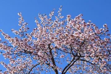 北海道の桜の写真