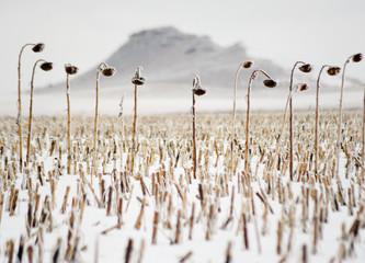 Dead sunflowers stand in a field in Dickinson, North Dakota