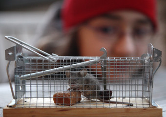 A small mouse sits in a trap after it was baited with candy and raisins in Vienna