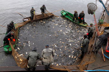 Fishermen pull a net containing fish from a pond during the traditional carp haul near the village of Belcice