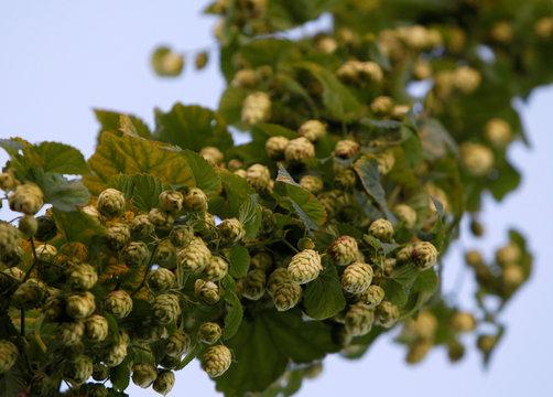 File photo of hops during harvest time in Ebrantshausen near Ingolstadt