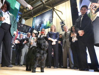 Banana Joe, an Affenpinscher, tours the floor of the New York Stock Exchange after ringing the opening bell