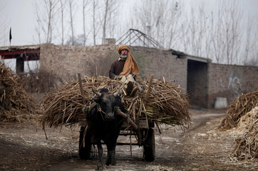A worker takes a cart full of sugar cane to a processing plant in Charsadda outside Peshawar