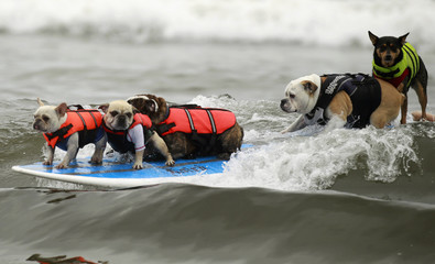 Five dogs ride a surfboard at a surf dog contest in Huntington Beach, California