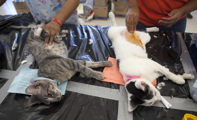 Cats that have been sedated wait to be sterilized in Bonfil