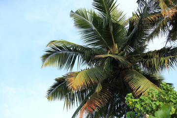 closeup of coconut trees under blue sky