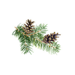 The branch of fir tree with cones on white background, watercolor illustration in hand-drawn style.