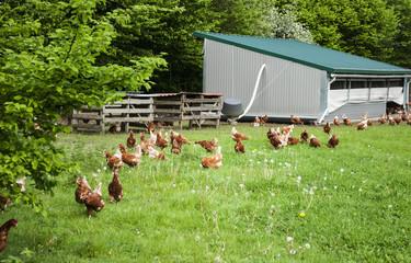 Glückliche Hühner in artgerechter Freilandhaltung mit Hühnerstall in Schleswig-Holstein, Deutschland