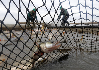 A pike is caught in a fishing net during fish harvesting at one of Europe's biggest freshwater fishing firms in the Great Hungarian plain in Hortobagy