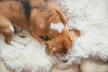 Beagle sleep on sheepskin