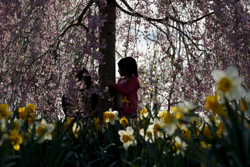 A girl plays inside blossoming cherry trees at the Branch Brook Park in Newark, New Jersey