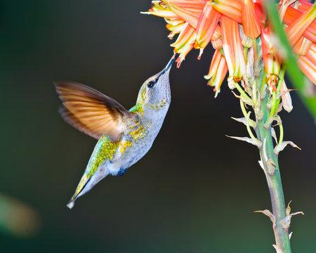 Female Anna Hummingbird feeding on Aloe flower, Arizona, America, USA