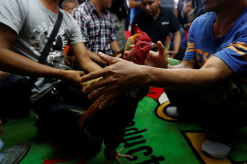 Men prepare roosters before the fight during an event organised to celebrate the Lunar New Year and the year of the Rooster on the outskirts Bangkok