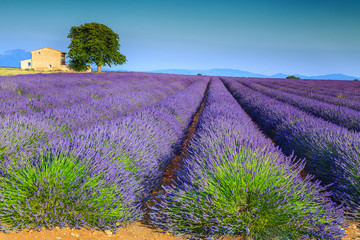 Colorful purple lavender fields in Provence region, Valensole, France, Europe