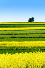 Photo sur Aluminium Jaune Canola or colza or rape cultivation field with blue sky