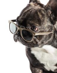French bulldog in sunglasses