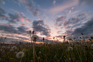 Landscape with Dandelions and Sky