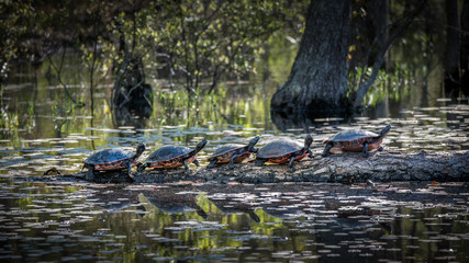Five Eastern painted turtles perched on a log in a pond with lily pads