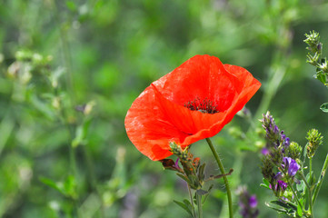 Red flowers of a Field Poppy (Papaver rhoeas) close up. Corn poppy flowers in wild