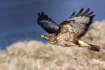 The common buzzard (Buteo buteo) flying