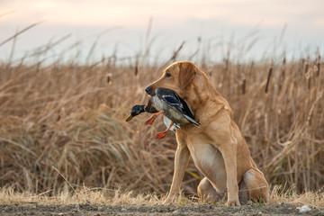 Labrador Retriever with Mallard Duck
