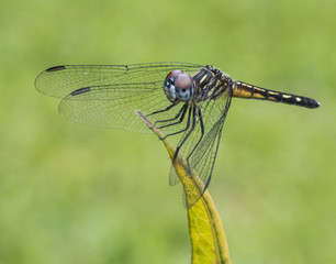 Female blue dasher dragonfly with a red, blue, and white face and gold and black body on light green leaf and bright green blurred background.