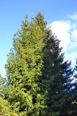 High pine on a background of blue sky