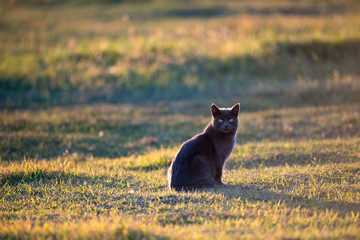 Black Cat at Sunset