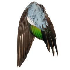 Real wild duck bird wing angel brown grey green blue white background