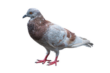Domestic pigeon standing isolated on the cement ground