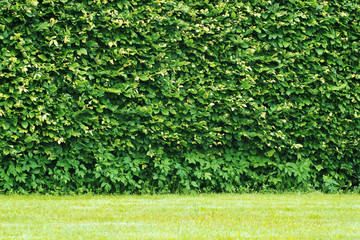 Hedge, wall of green leaves, background