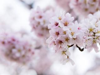 White Sakura, Japan