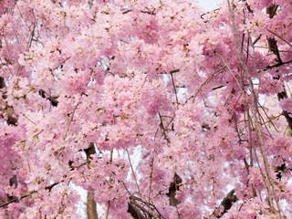 Pink Sakura Blossom, Japan