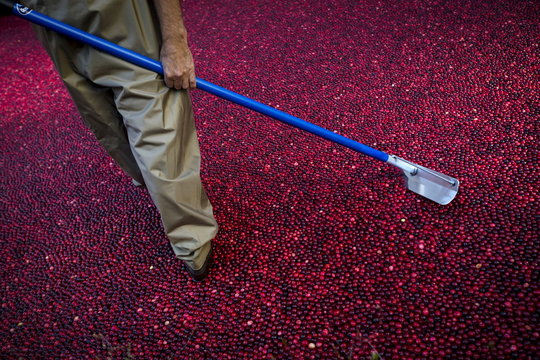 A man in waders walks in a pool of water covered with floating cranberries where the Ocean Spray company was holding a promotion at Rockefeller Center in Midtown Manhattan in New York