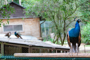peacock sitting on a roof