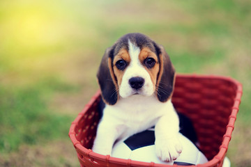 Cute young Beagle
