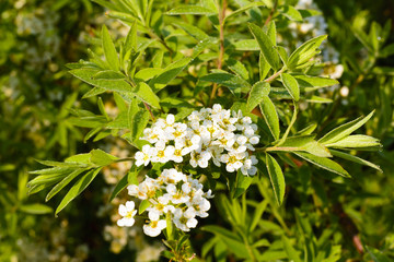 Tiny white flowers on an ornate green branch