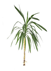 Green leaf of palm tree isolated.