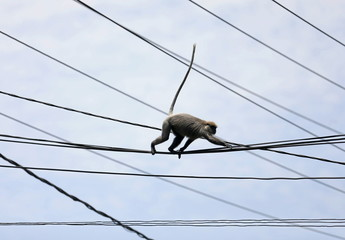 A monkey walks on main power lines on a main road in Colombo