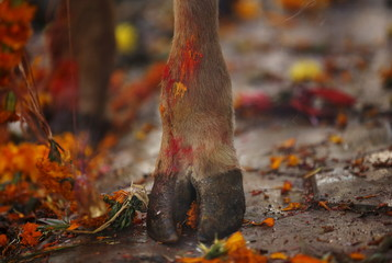 A cow hoof, smeared with vermilion powder, is pictured during a religious ceremony in Kathmandu