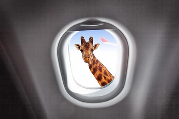 Giraffe looking through a plane's window