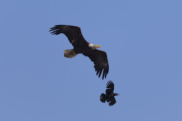 Bald eagle flying while fighting with crows, seen in the wild in  North California